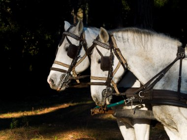 Portrait of two  white work horses  with harness
