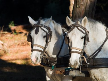 Portrait of two  white work horses  with harness and blinkers