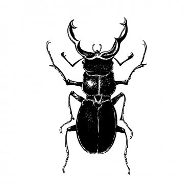 Hand drawn stag beetle