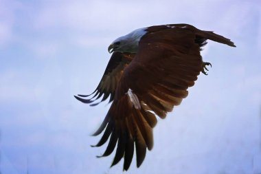 The prowess of the brahminy kite eagle. This bird is an accomplished hunter.