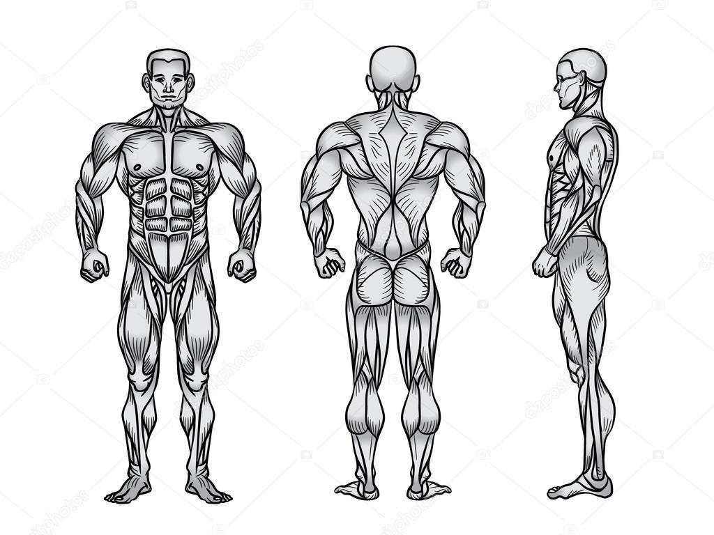 Anatomie des männlichen muskulösen System, Bewegung und Muskel guide ...