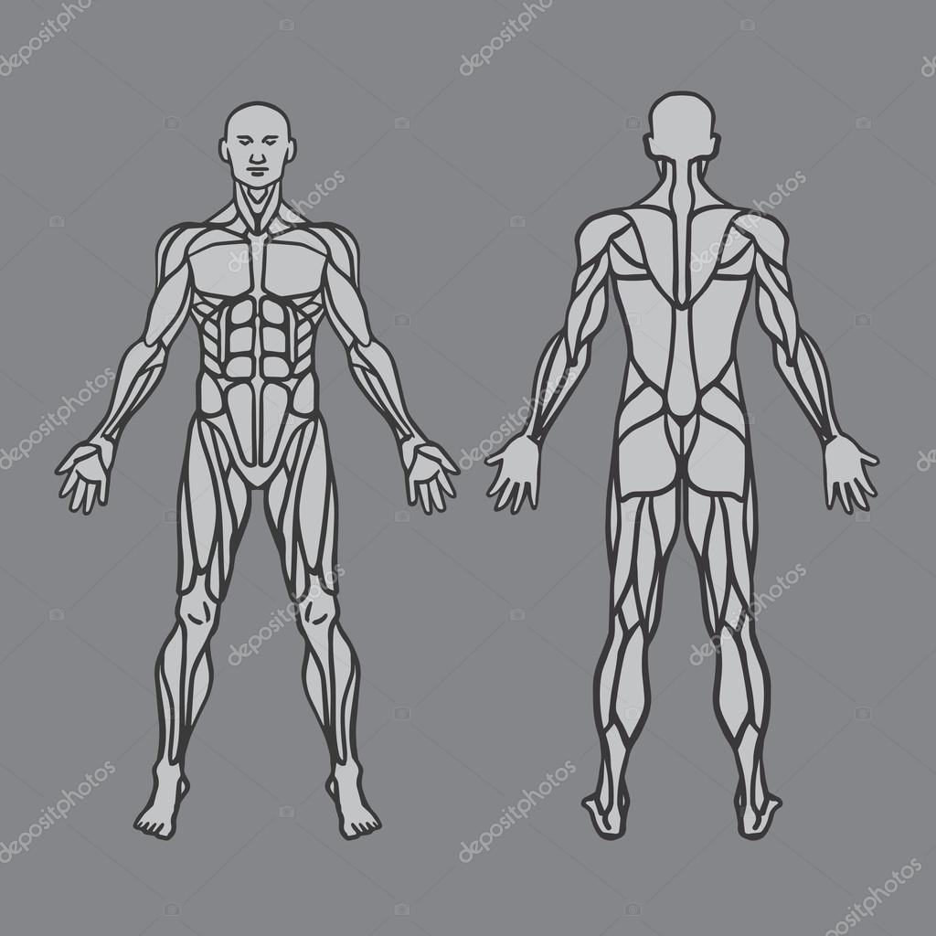 Anatomy of male muscular system, exercise and muscle guide. Human muscular vector art, front view, back view. Vector illustration