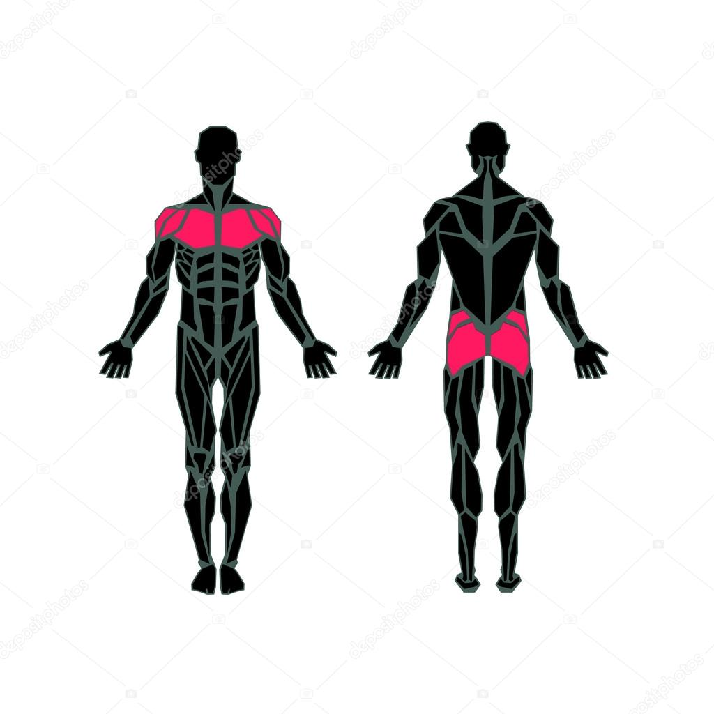 Polygonal anatomy of male muscular system, exercise and muscle guide. Human muscular vector art, front view, back view. Vector illustration