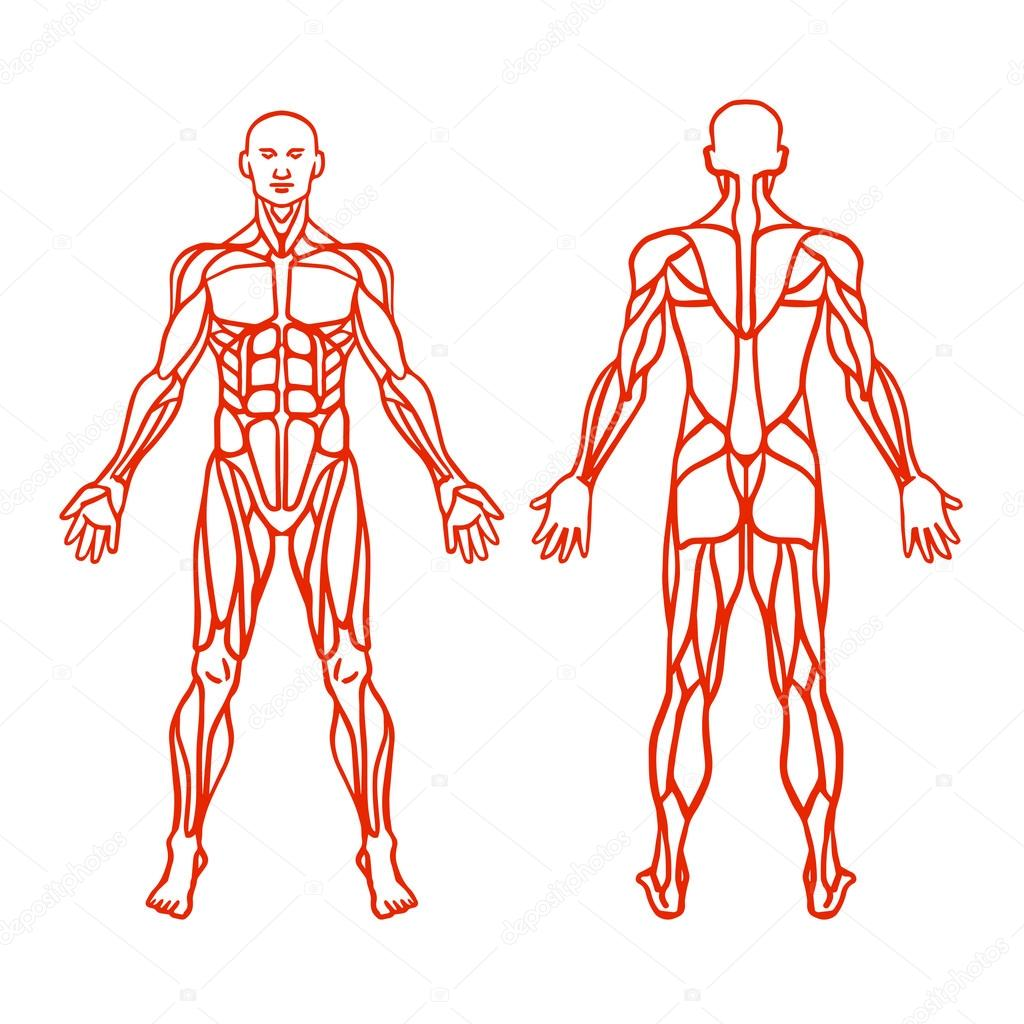 anatomy of male muscular system, exercise and muscle guide. human, Muscles