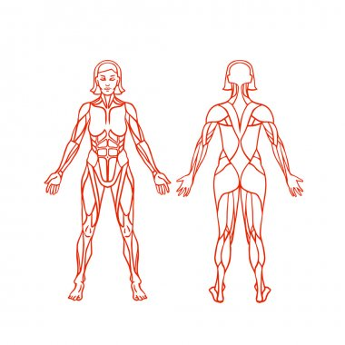 Anatomy of female muscular system, exercise and muscle guide. Women muscle vector art, back view.