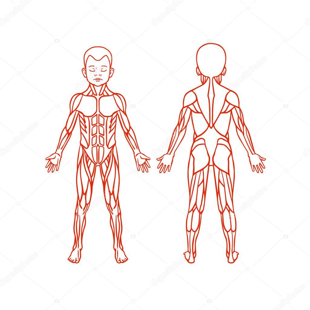 Anatomy of children muscular system, exercise and muscle guide ...
