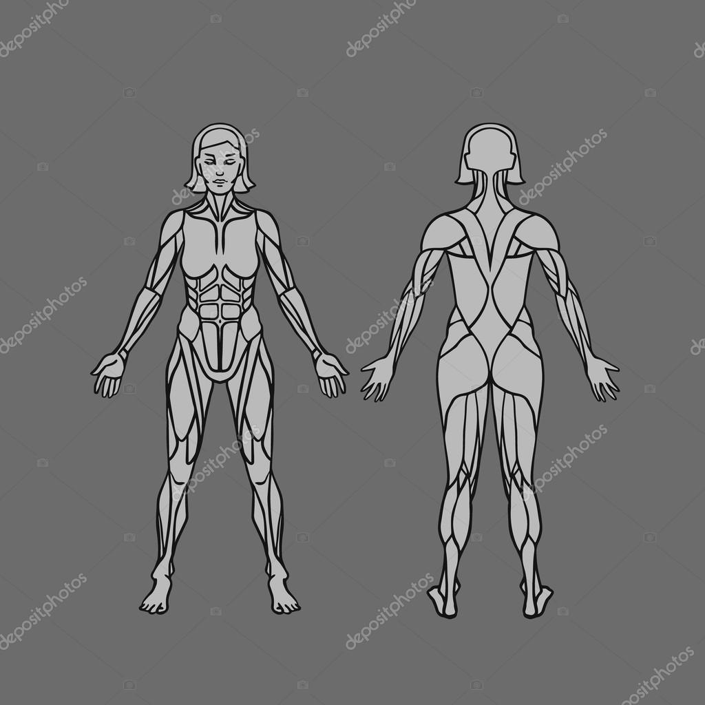 Anatomy of female muscular system, exercise and muscle guide. Women muscle vector art, front and back view.