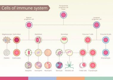 Origin of Cells of immune system.