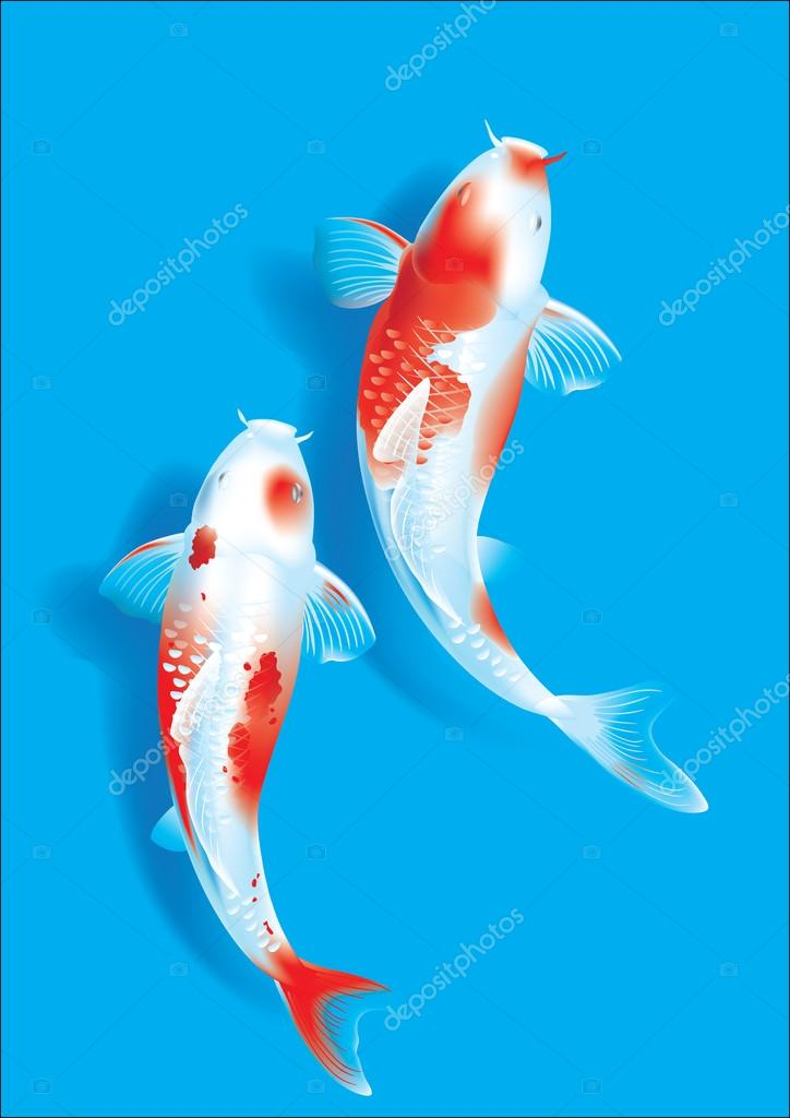 Koi couple on blue