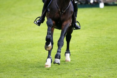 Detail of the canter dark brown horse