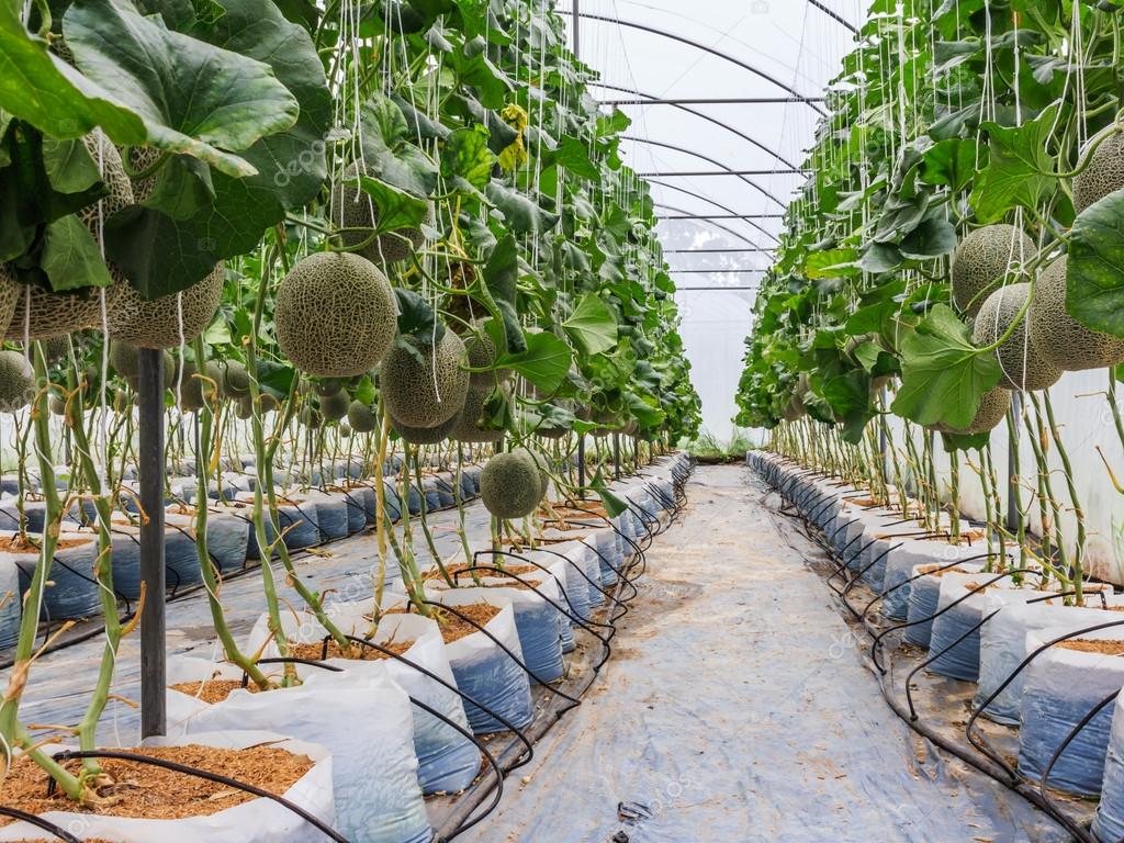 Cantaloupe melons growing in a greenhouse supported by string me