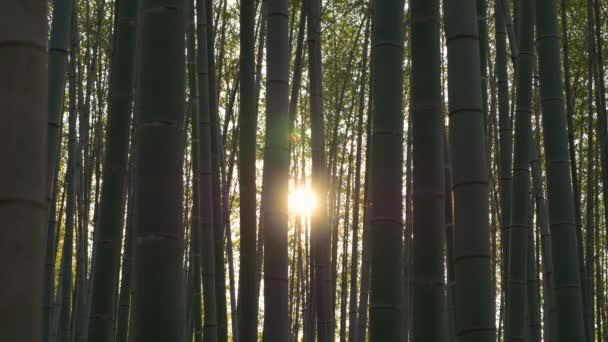 Zlatý žlutý západ slunce vykukující bambusovým lesem. Uzamčeno