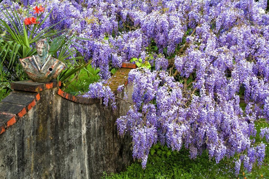 美丽的紫藤萝花在春天 图库照片 169 Stefanoventuri#70203147