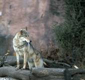 Fotografie vlk