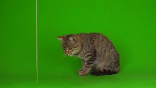Szürke gyönyörű cica egy csíkos képernyőn egy zöld háttér.