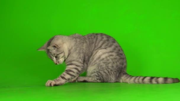 Tabby šedá kočka kotě hraje zelenou obrazovku pozadí.