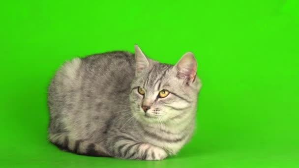 Tabby gray cat kitten playing green screen background.