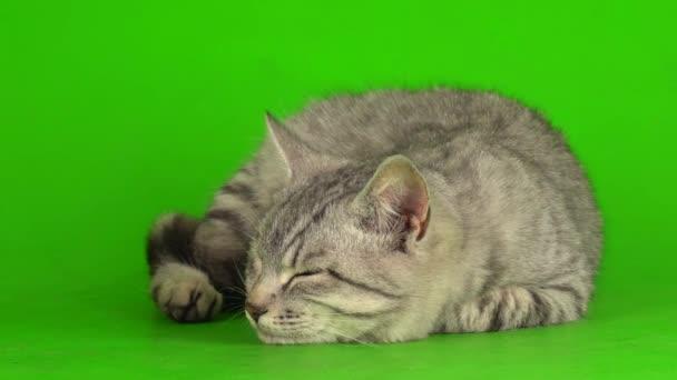 Tabby szürke macska cica játszik zöld képernyő háttér.