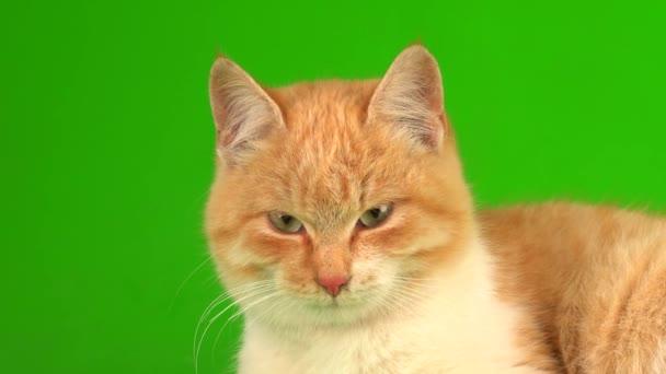 Rote Katzenkätzchen auf grünem Hintergrund.