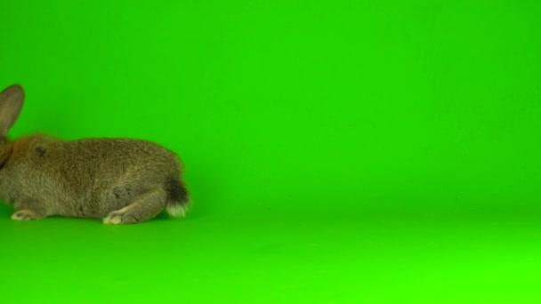 rabbit hare Green background screen