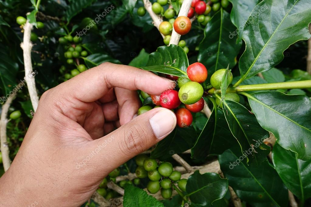 close up hand keep coffee beans