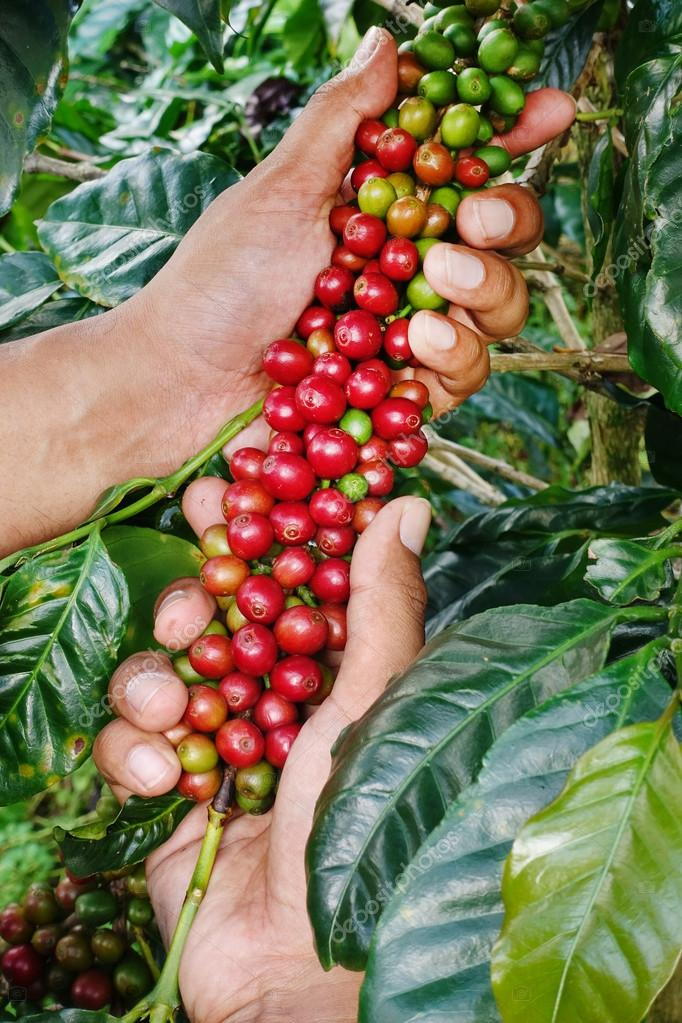 Close up of red berries coffee beans