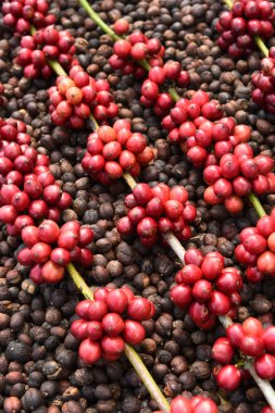 Coffee beans ripening on dried berries coffee beans