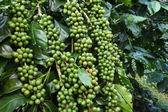 Kávová zrna na stonku