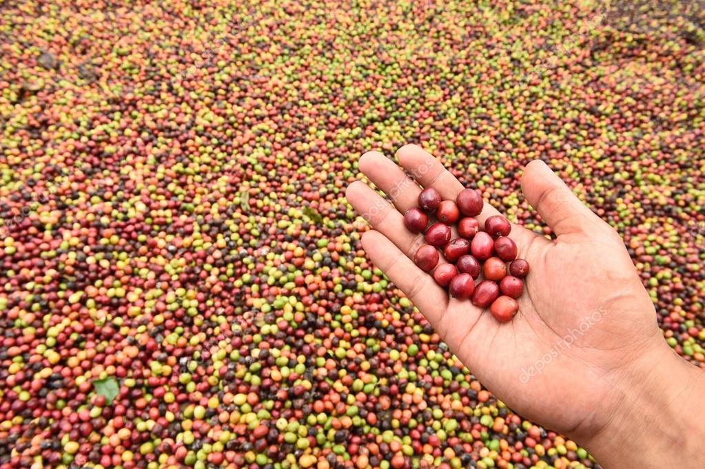 Fresh coffee bean in hand on red berries coffee