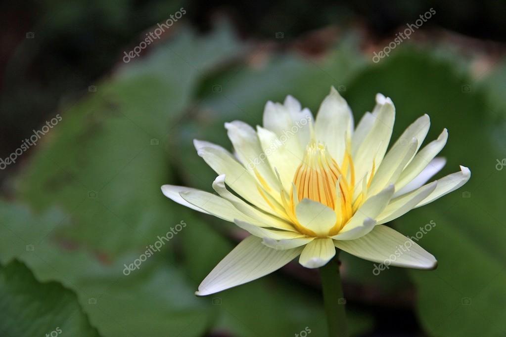 Lotus iei iek stok foto kpoppie 79605748 beyaz lotus iei yeil yapraklar arka plan nnde ortada sar polen ile dar iek kpoppie fotoraf mightylinksfo