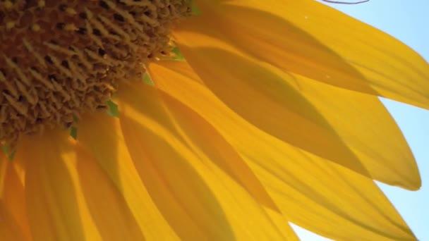Sárga napraforgó mező Toszkánában. Olaszország