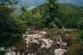 Zamlžené zelené borovice lesní krajina