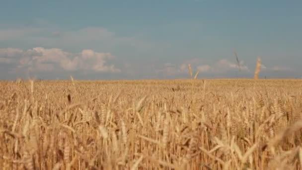a mező sárga búza