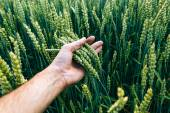 Fotografie wheat field with farmers hand