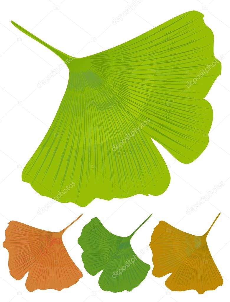 isoliert leaf ginkgo biloba medizinische baum mit antioxidative wirkung baum farbvarianten. Black Bedroom Furniture Sets. Home Design Ideas