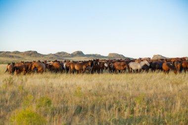 Herd of horses in kazakh steppe