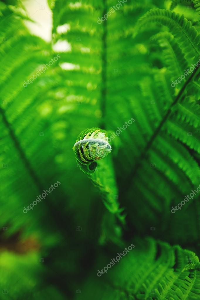 Single young fern