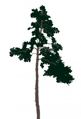 Highly detailed pine tree