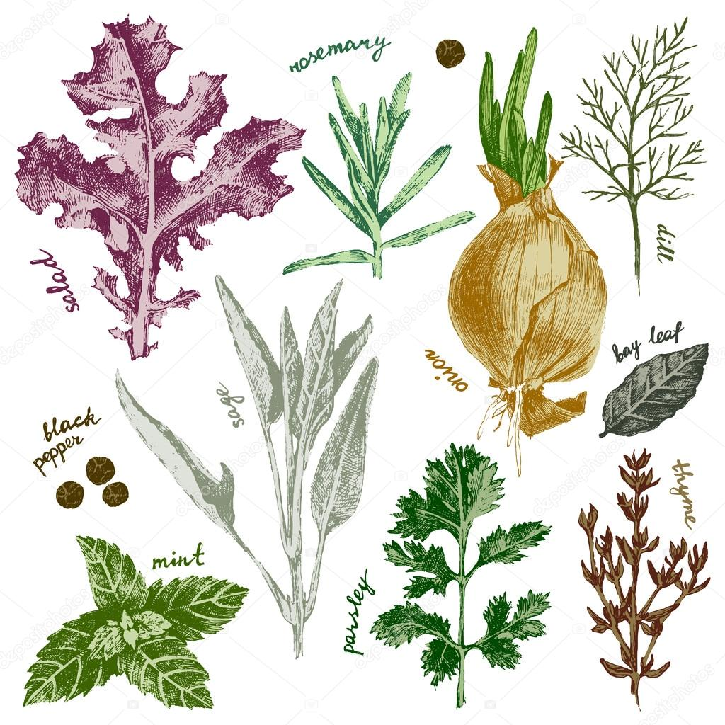 hand drawn herbs and spices set in color