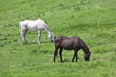 Black and white horses feeding grass