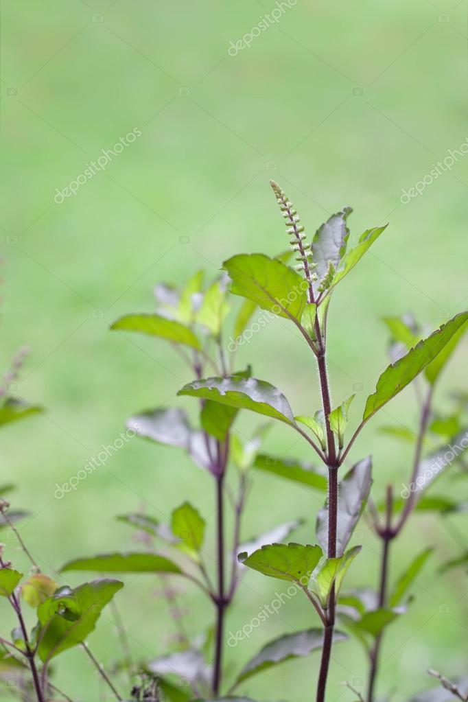 Holy basil or tulsi