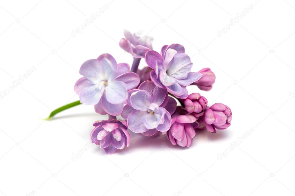 Lilac flowers isolated. White background
