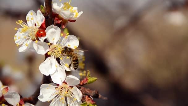 Bee a Beruška na kvetoucí třešeň