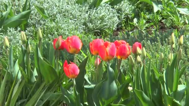 červené tulipány v zelené trávě