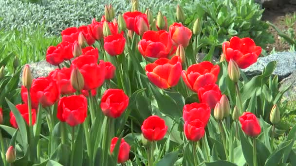 The buds of red tulips with blossoming flowers
