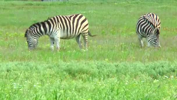 Dvě zebry pastviny v stepi na trávě