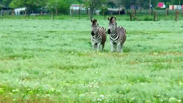 A sztyeppei mellett egy farmon élő zebrák