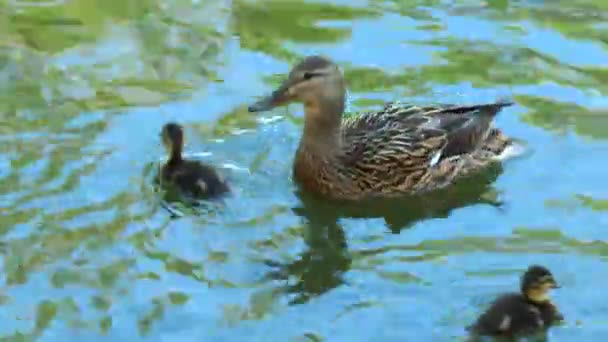 Duck with ducklings swimming in a pond