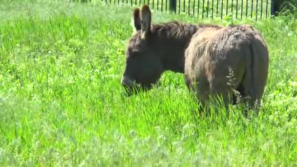 Donkey grazing in a meadow with  grass