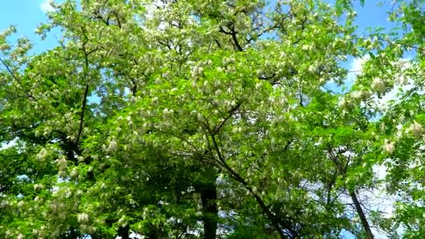 Kvetoucí strom acacia na pozadí modré oblohy